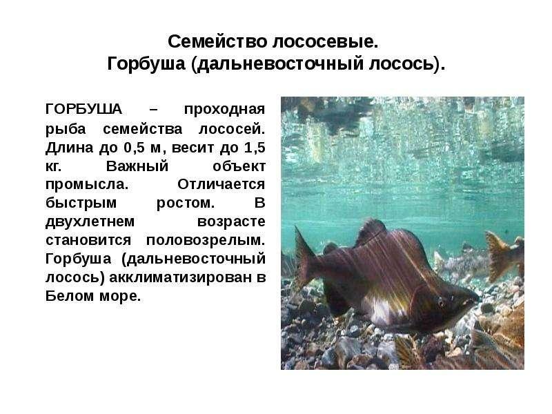 Кета кета - проходная рыба семейства лососей