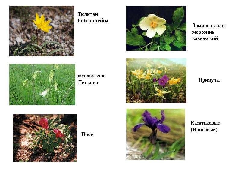 мейвезер-младший долгое редкие растения краснодарского края с картинкой большинстве случаев