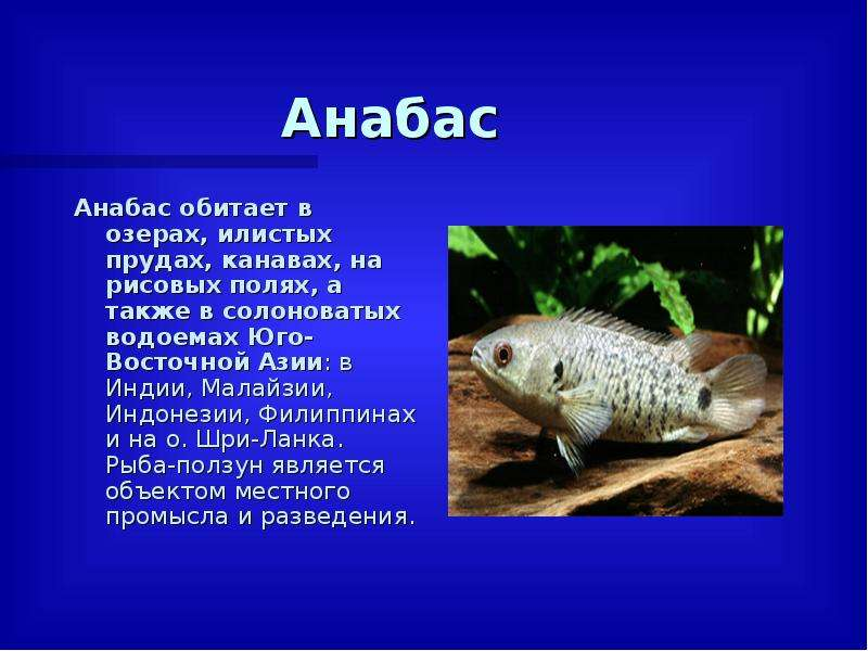 Анабас Анабас обитает в озерах, илистых прудах, канавах, на рисовых полях, а также в солоноватых вод