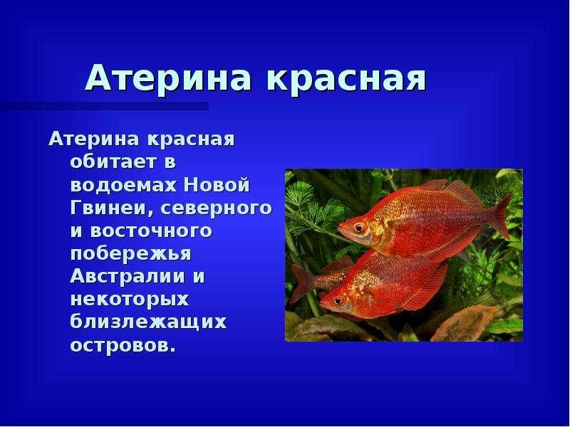 Атерина красная Атерина красная обитает в водоемах Новой Гвинеи, северного и восточного побережья Ав