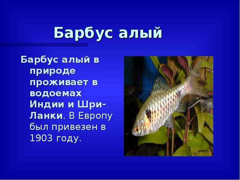 Барбус алый Барбус алый в природе проживает в водоемах Индии и Шри-Ланки. В Европу был привезен в 19