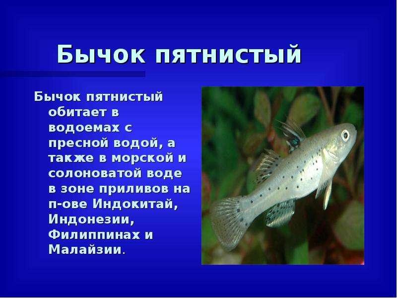 Бычок пятнистый Бычок пятнистый обитает в водоемах с пресной водой, а также в морской и солоноватой