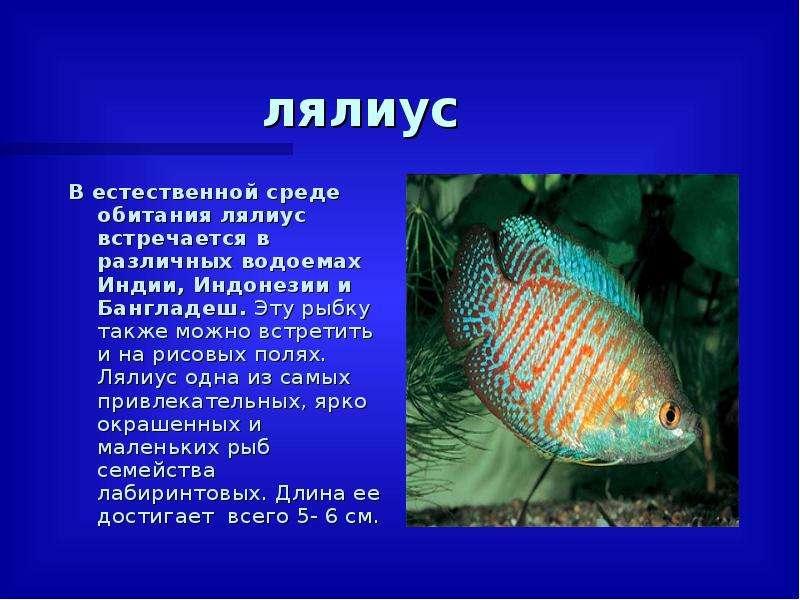 лялиус В естественной среде обитания лялиус встречается в различных водоемах Индии, Индонезии и Банг