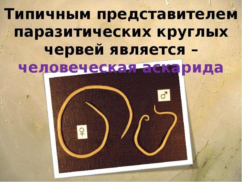 Типичным представителем паразитических круглых червей является – человеческая аскарида