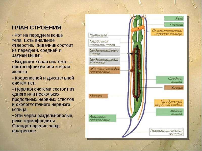 ПЛАН СТРОЕНИЯ Рот на переднем конце тела. Есть анальное отверстие. Кишечник состоит из передней, сре