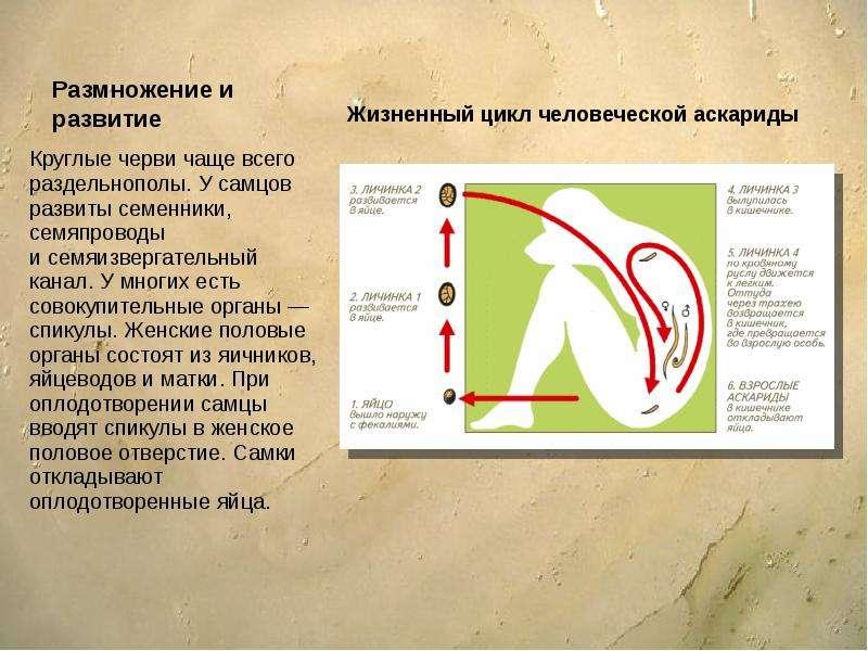 Размножение и развитие Круглые черви чаще всего раздельнополы. У самцов развиты семенники, семяпрово