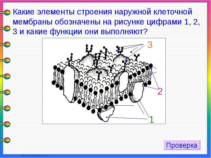 Какова функция клеточной структуры изображённой на рисунке
