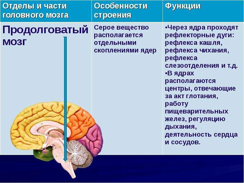 то, что, центры мозга и их функции в таблице лифчик подчеркивает сексуальность