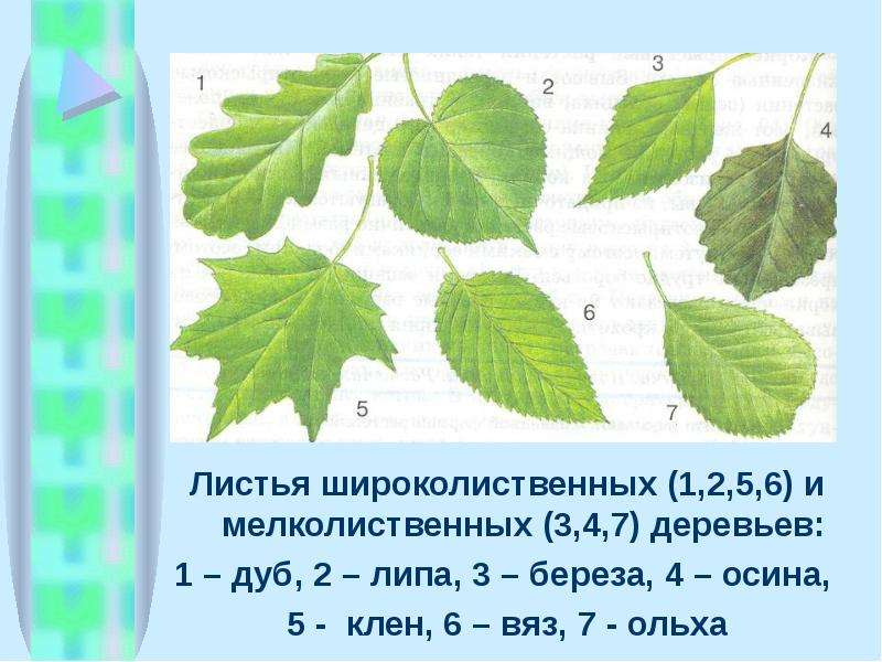 Листья широколиственных (1,2,5,6) и мелколиственных (3,4,7) деревьев: Листья широколиственных (1,2,5