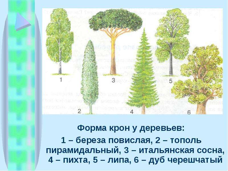 Форма крон у деревьев: Форма крон у деревьев: 1 – береза повислая, 2 – тополь пирамидальный, 3 – ита