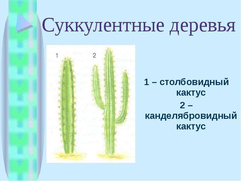 Суккулентные деревья 1 – столбовидный кактус 2 – канделябровидный кактус