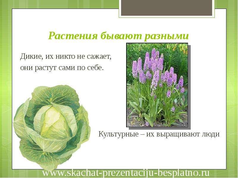 выборе какие культурные растения выращивали в древние времина белью для