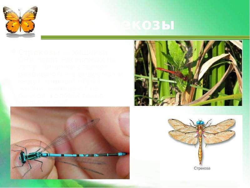 Стрекозы Стрекозы — хищники. Они ловят насекомых на лету. Личинки стрекоз развиваются в водоемах и в