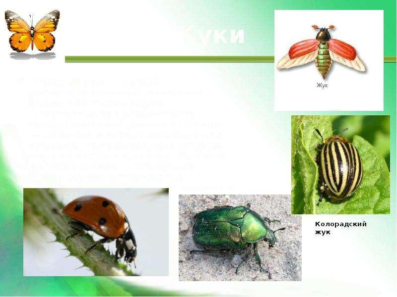 Жуки Отряд Жуки — самый распространенный, включает более 300 тысяч видов. Отличительная особенность