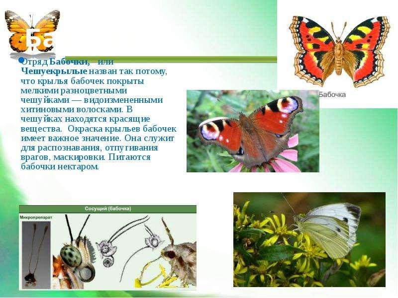 Бабочки Отряд Бабочки, или Чешуекрылые назван так потому, что крылья бабочек покрыты мелкими разноцв