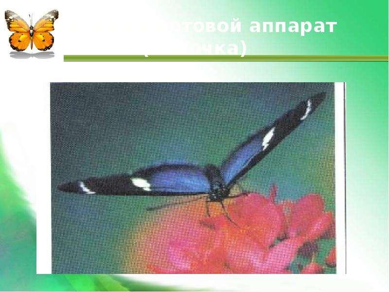 Сосущий ротовой аппарат (бабочка)