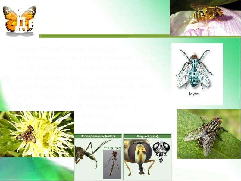 Двукрылые У представителей отряда Двукрылые имеется только одна пара крыльев. Отряд делят на два под