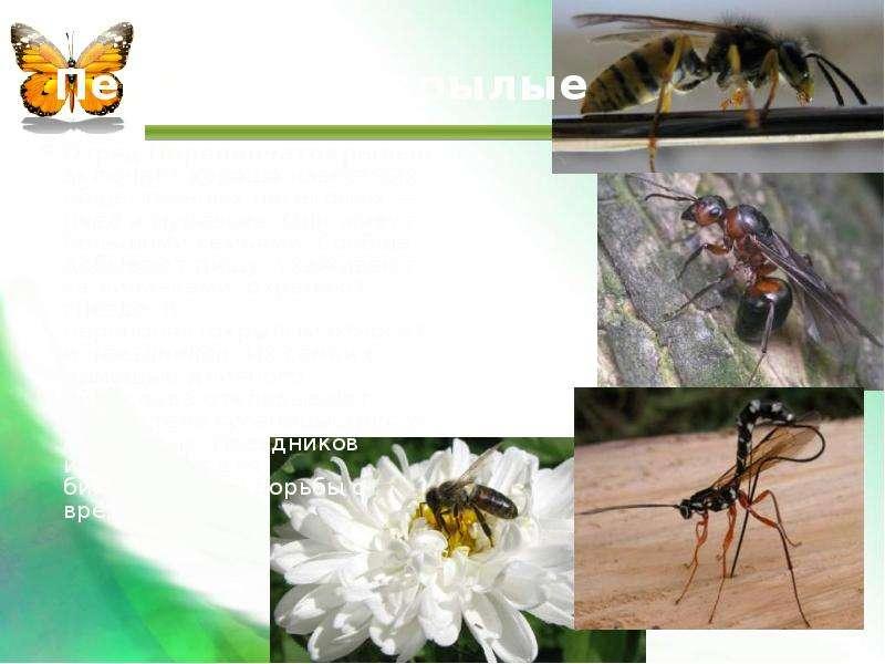 Перепончатокрылые Отряд Перепончатокрылые включает хорошо известных общественных насекомых — пчел и