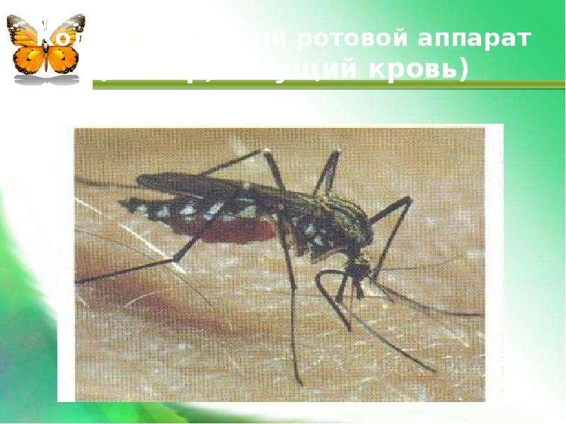 Колюще-сосущий ротовой аппарат (комар, сосущий кровь)