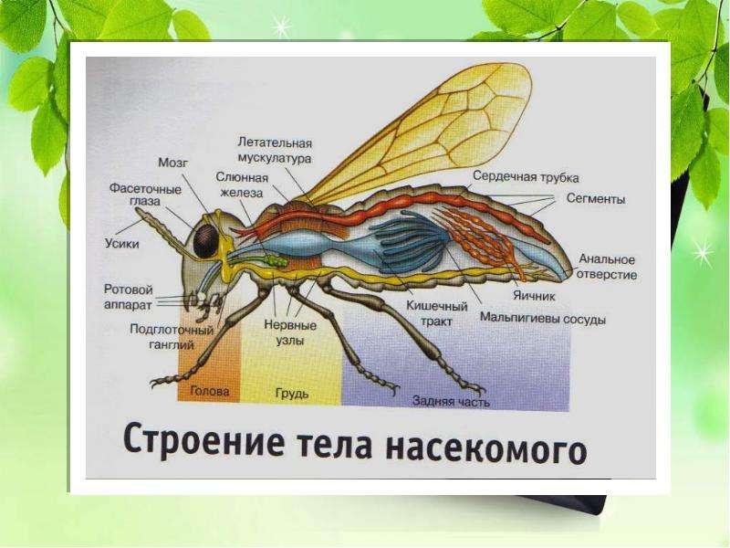 Насекомые Общая характеристика Выполнила: Отряскина Т. А. Неклюдовская сош, слайд 3