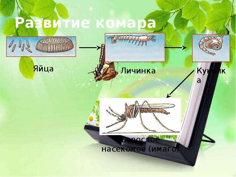 Развитие комара