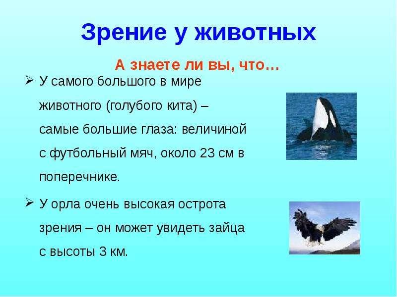 Зрение у животных У самого большого в мире животного (голубого кита) – самые большие глаза: величино