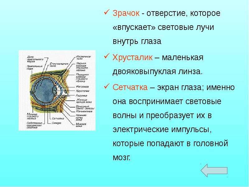 Зрачок - отверстие, которое «впускает» световые лучи внутрь глаза Зрачок - отверстие, которое «впуск