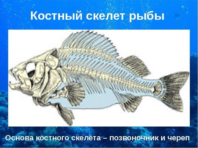 Костный скелет рыбы