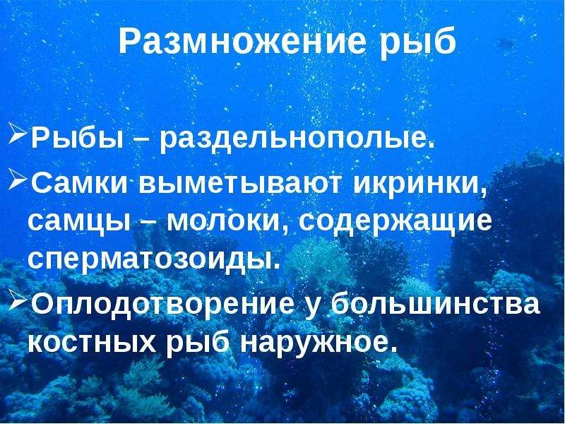 Размножение рыб Рыбы – раздельнополые. Самки выметывают икринки, самцы – молоки, содержащие спермато