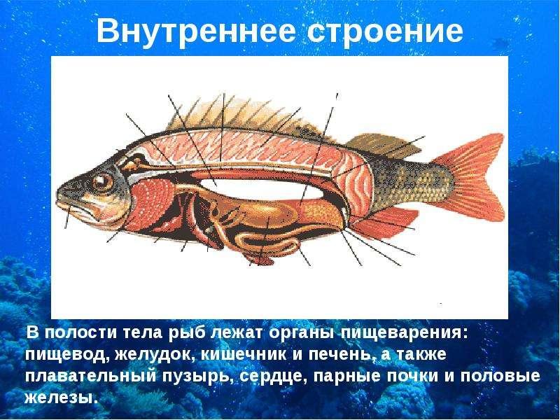 Внутреннее строение В полости тела рыб лежат органы пищеварения: пищевод, желудок, кишечник и печень