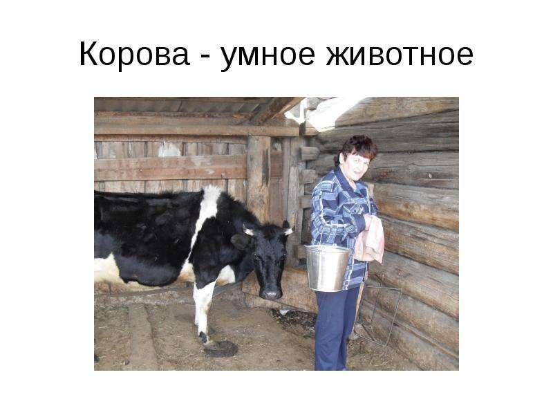 Корова - умное животное