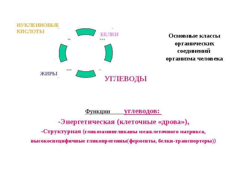 Основные классы органических соединений организма человека Функции углеводов: -Энергетическая (клеточные «дрова»), -Структ