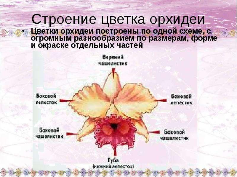 Формула цветка орхидеи