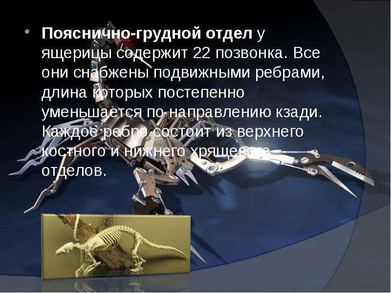 Пояснично-грудной отдел у ящерицы содержит 22 позвонка. Все они снабжены подвижными ребрами, длина к