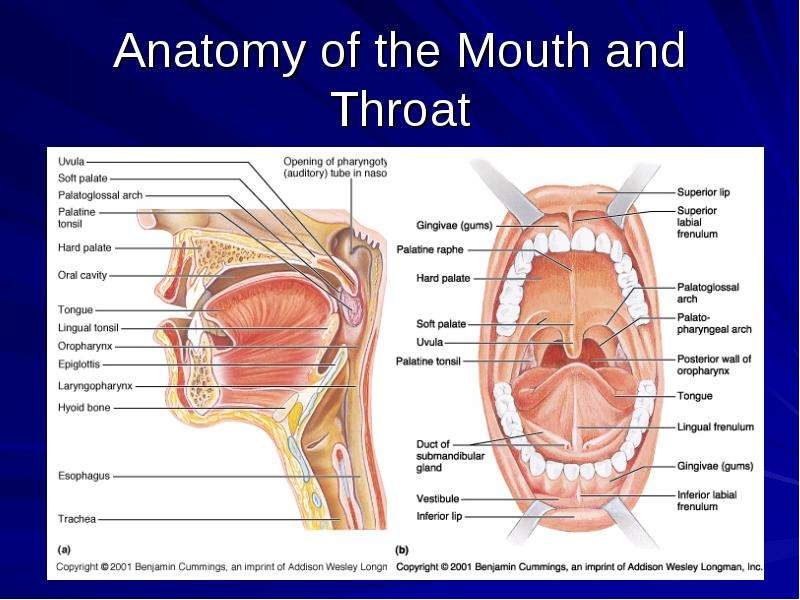 Human throat anatomy