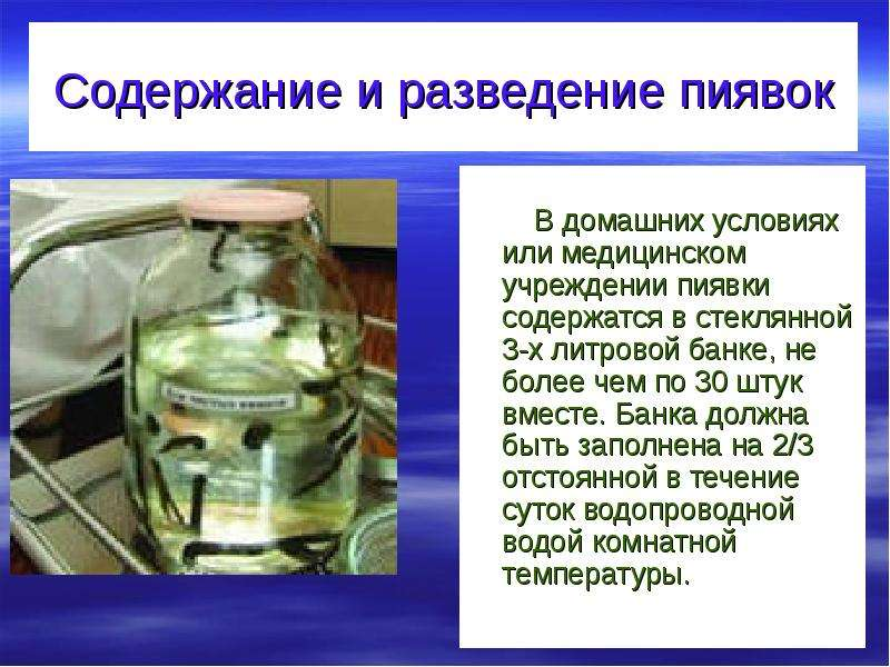 Медицинские пиявки разведение в домашних условиях