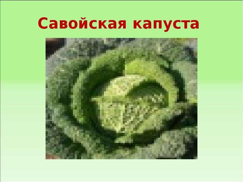 Савойская капуста