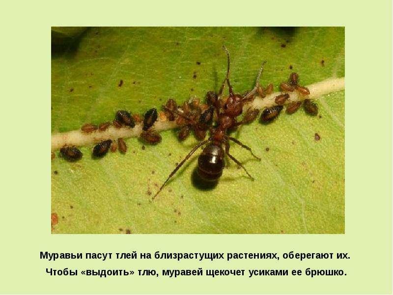 Как муравьи связаны с тлей