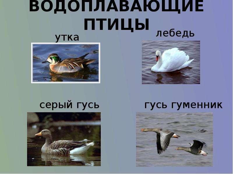 мировой картинки водоплавающих птиц с названиями октября февраль