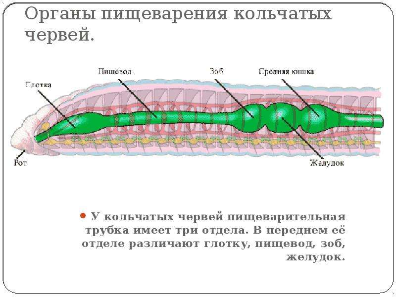 Органы пищеварения кольчатых червей. У кольчатых червей пищеварительная трубка имеет три отдела. В п