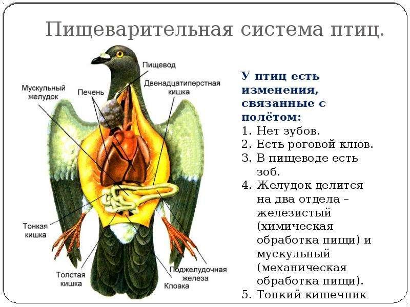Пищеварительная система птиц.
