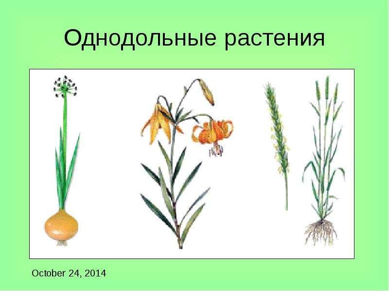 Однодольные растения картинки с названиями