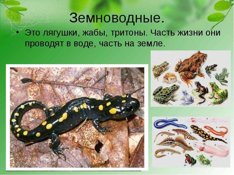 Земноводные саламандра лягушка жаба тритон