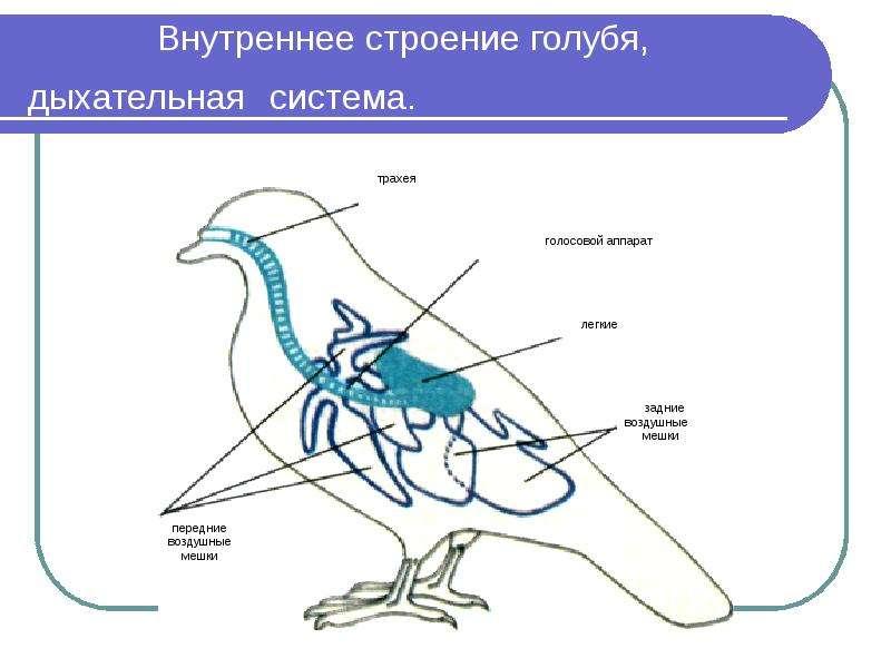 Картинка внутреннего строения птицы вопрос сочетанию