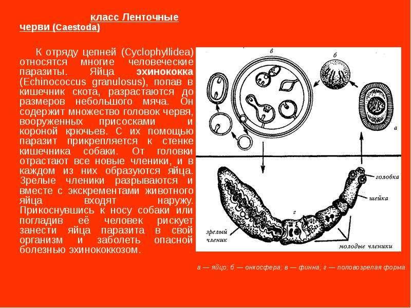 класс Ленточные черви (Caestoda) К отряду цепней (Cyclophyllidea) относятся многие человеческие пара