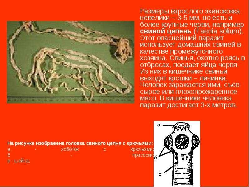 Размеры взрослого эхинококка невелики – 3-5 мм, но есть и более крупные черви, например свиной цепен