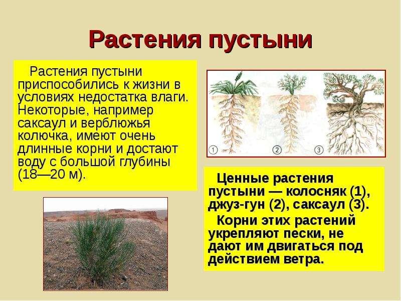 Растения пустыни Растения пустыни приспособились к жизни в условиях недостатка влаги. Некоторые, на