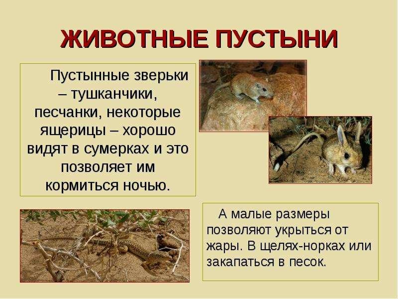 ЖИВОТНЫЕ ПУСТЫНИ Пустынные зверьки – тушканчики, песчанки, некоторые ящерицы – хорошо видят в сумерк
