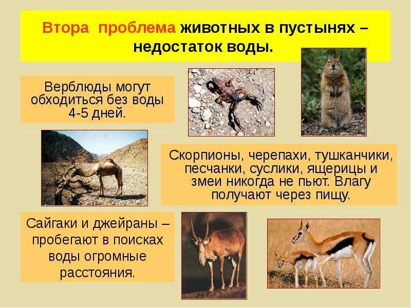 Втора проблема животных в пустынях – недостаток воды. Верблюды могут обходиться без воды 4-5 дней.