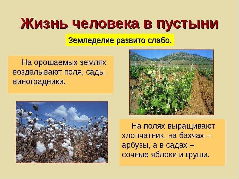 Жизнь человека в пустыни На орошаемых землях возделывают поля, сады, виноградники.